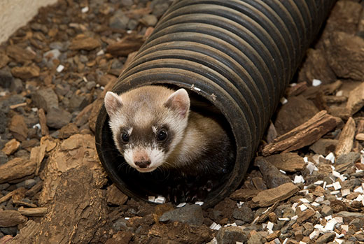 Black-footed-ferrets-name-voting-1