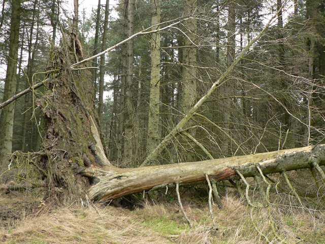 Fallen_tree,_Pitmedden_Forest_-_geograph.org